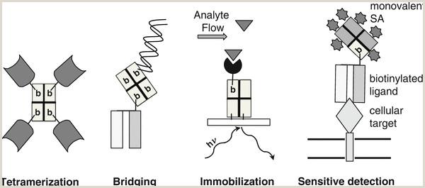 Site Specific Biotinylation of Purified Proteins Using BirA