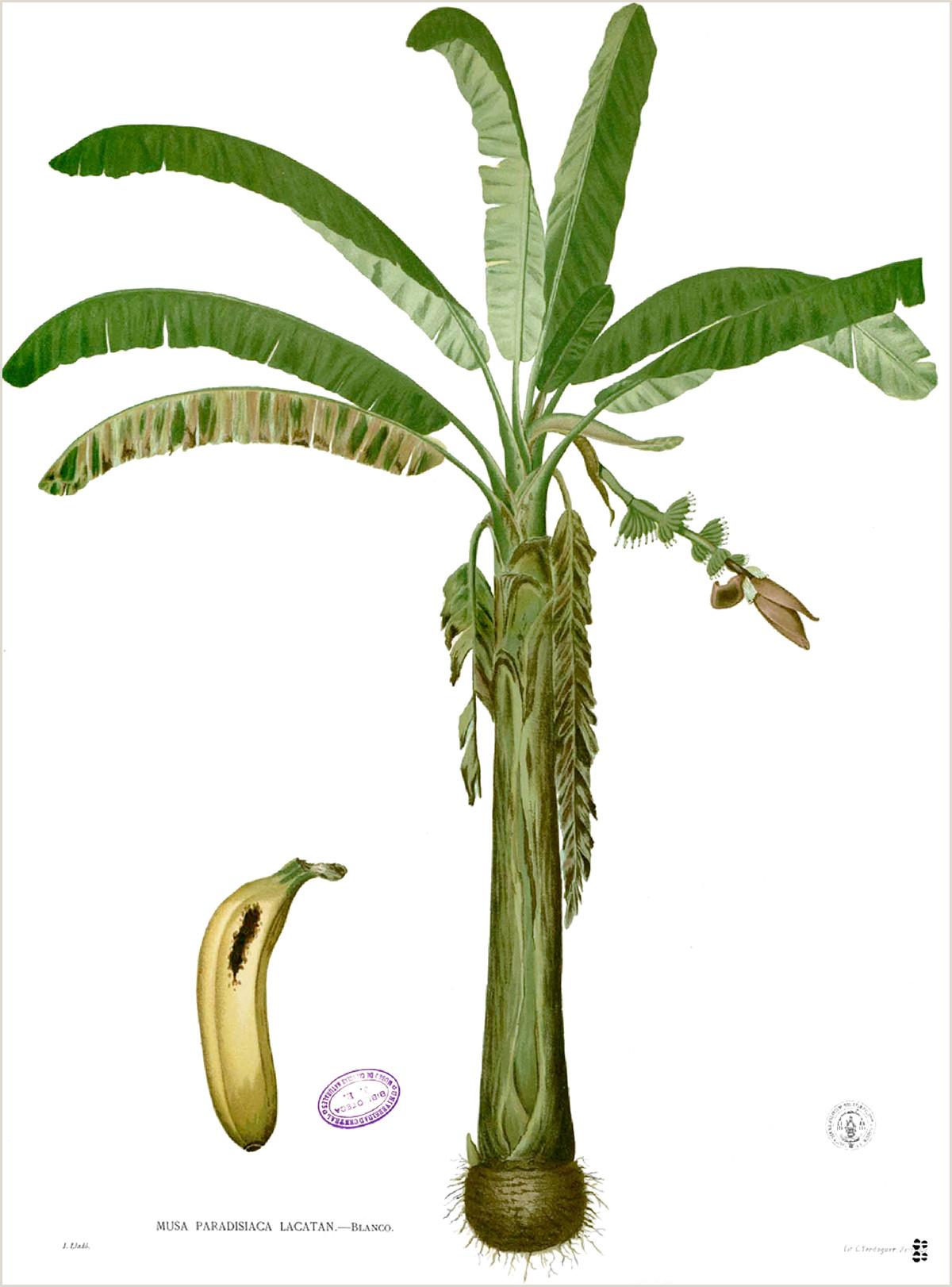 Musa — paradisiaca la enciclopedia libre