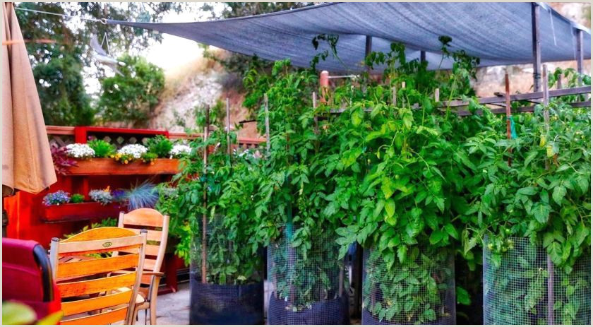 6 maneras de ayudar a sus plantas de tomate a soportar la