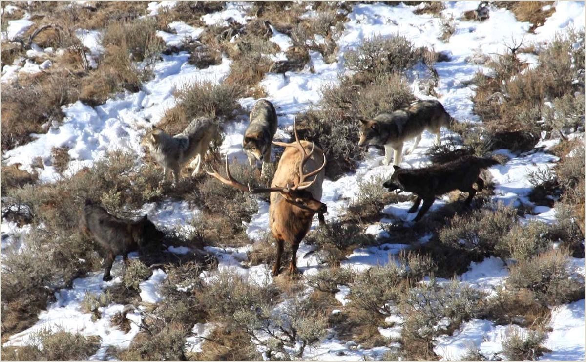 Drop your weapons lucky Elk make odd choice in antler