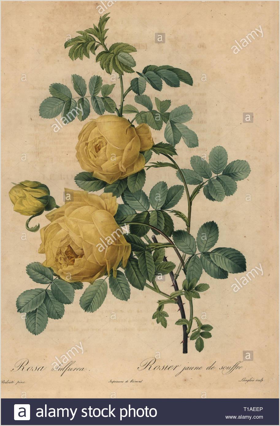 Hoja De Vida Minerva.com Jaune Rose Imágenes De Stock & Jaune Rose Fotos De Stock Alamy