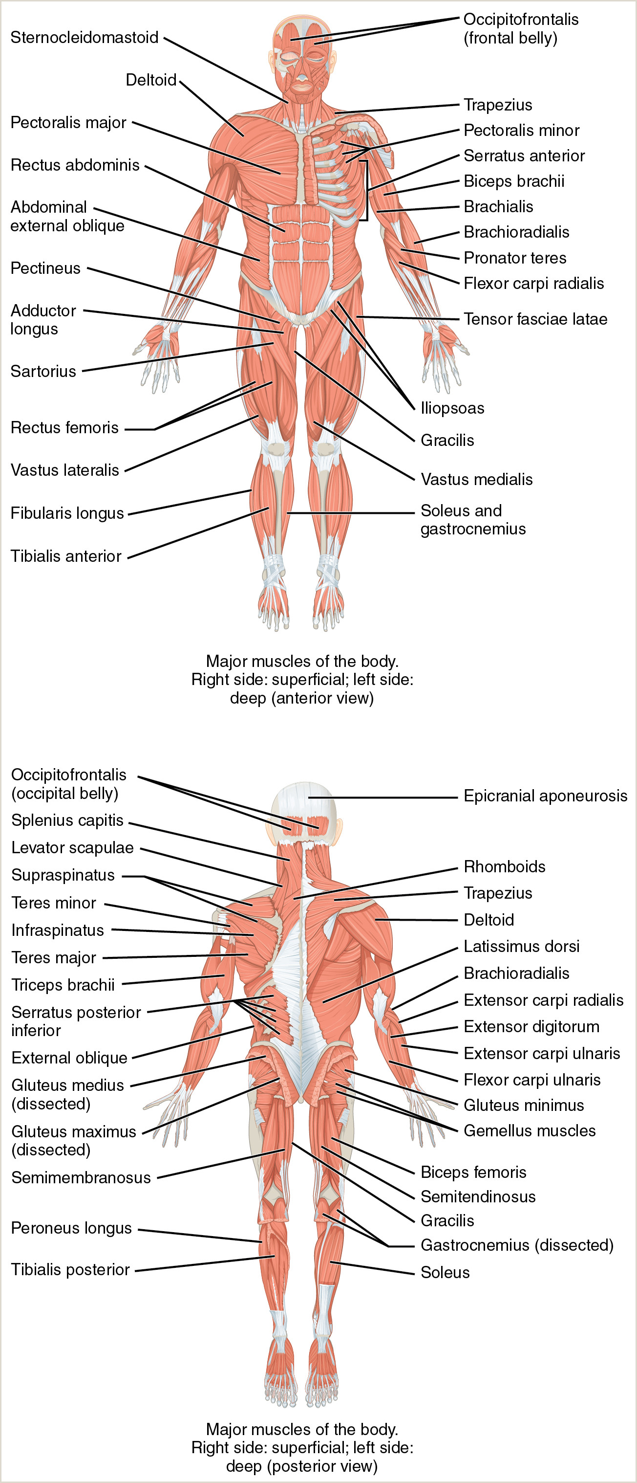 11 2 Naming Skeletal Muscles – Anatomy and Physiology