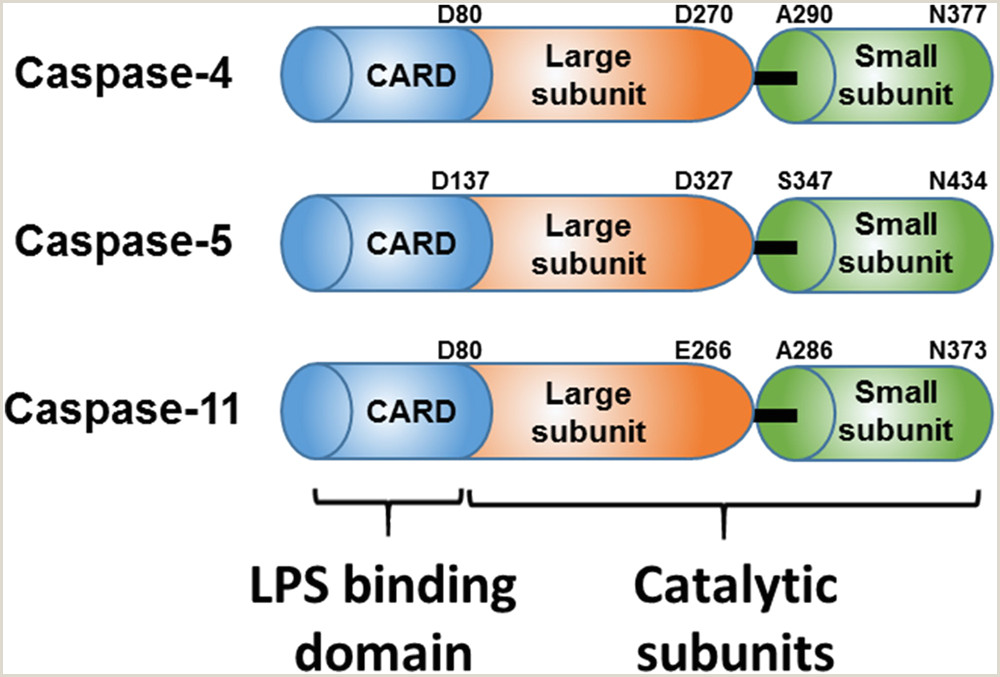 Resume format for Rj Job Caspase 4 Disaggregates Lipopolysaccharide Micelles Via Lps