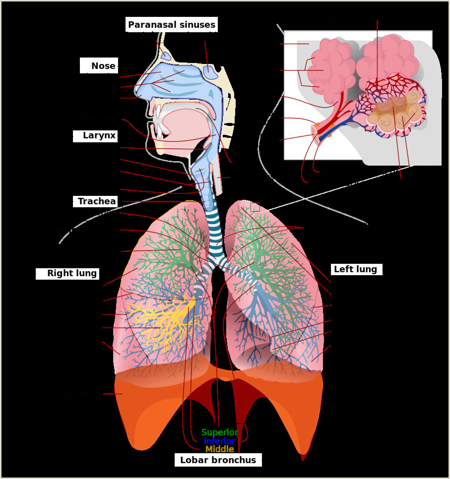 Select the Correct Statement About Capillary Beds File Respiratory System Plete Eng