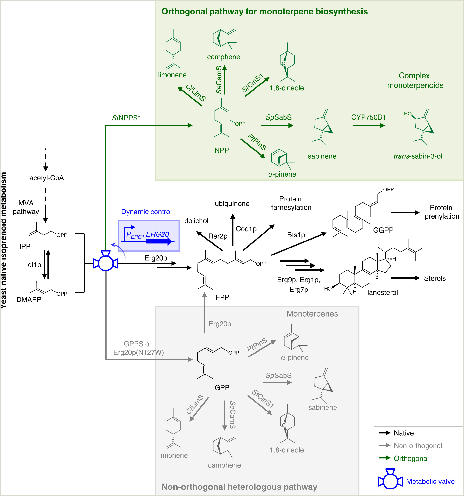 Select the Statement that Best Describes A Buffer orthogonal Monoterpenoid Biosynthesis In Yeast Constructed