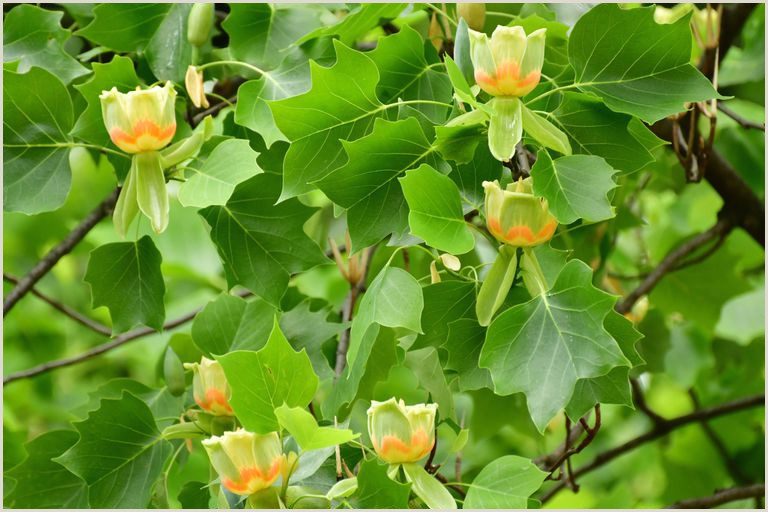 Identifying Yellow Poplar Tree in North America