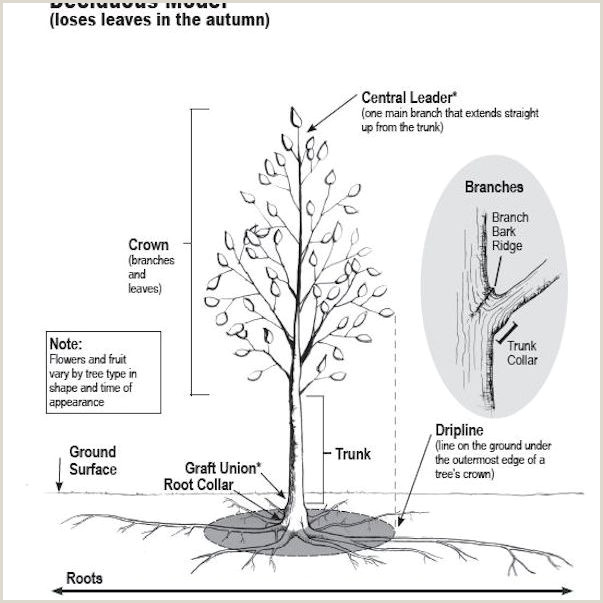 Tree without Leaves Template Overview Of How Trees Grow and Develop