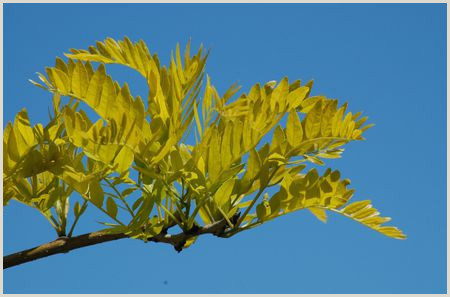 Sunburst Honey Locust Care and Growing Guide
